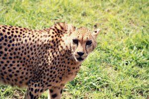 cheetah-1354312_960_720