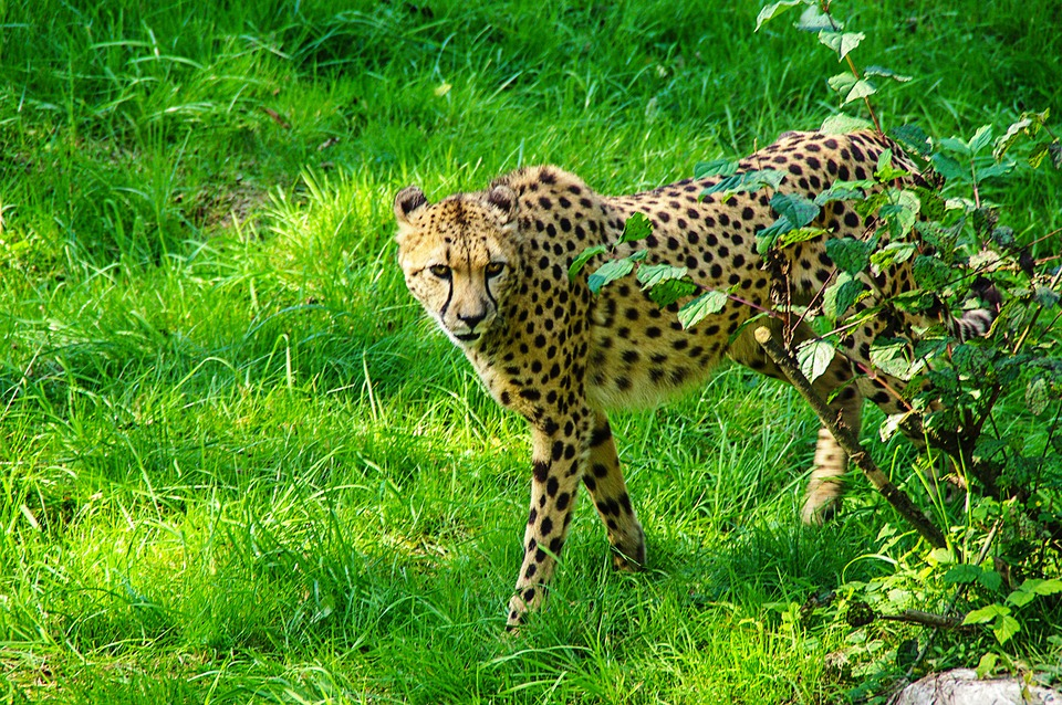 cheetah-322311_960_720